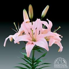 Lilium 'Tiny Athlete'
