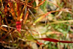 plants, flowers, bloom, blooming, japanese blood grass, bittersweet