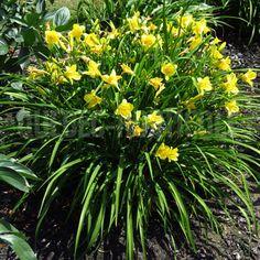 image de Hemerocallis Happy Returns Rock Wall Landscape, Happy Returns, Trees And Shrubs, Day Lilies, Coin, Landscaping Ideas, Perennials, Garden Ideas, Photos