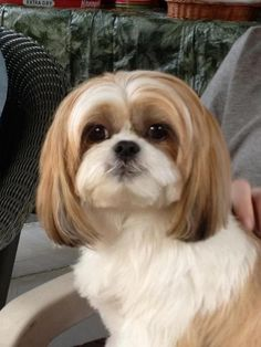 .Shih Tzu-  We have created several books for Shih Tzu's! They are so cute!