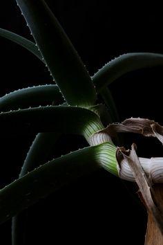 succulent | STILL  (mary jo hoffman)