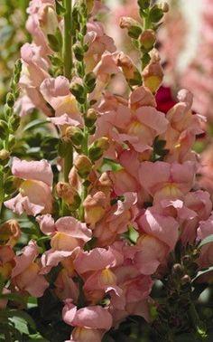 Aromas Hybrid Sweet Pink Snapdragons - Annual Flower