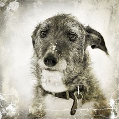 Lurcher-the little grey beard is just too cute :)