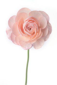 Flower Photography - Ranunculus Fine Art Photograph, Floral Still Life, Large Wall Art, Minimalist Home Decor,