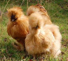 Buff Silkie Chickens