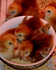 "Baby ""Buckeye"" pullets. Mahogany red in color, friendly disposition, active foragers, good layers, hardy."