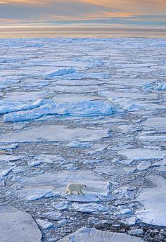 Polar Bear on the ice, Svalbard, Norway