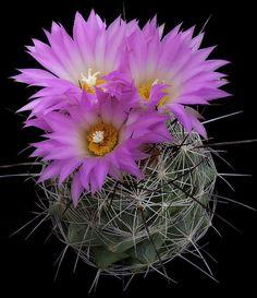 CAC454 Coryphantha ramillosa | Flickr - Photo Sharing!