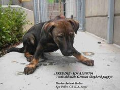 PLEASE GIVE HIM A CHANCE & Please REPIN!! URGENT!!!!!  Freddie  http://www.examiner.com/article/terrified-puppy-urgently-needs-rescued-from-california-animal-control?CID=examiner_alerts_article#