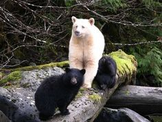 Neither albino nor polar bear, the spirit bear (also known as the Kermode bear) is a white variant of the North American black bear found almost exclusively in 250 miles down Canada's western coast. Amazing Animals, Animals Beautiful, Cute Animals, Wild Animals, Animal Fun, Unusual Animals, Majestic Animals, Black Animals, Animal Pics