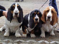 Tri Color Basset Hound Puppies for Sale . Tri Color Basset Hound Puppies for Sale . Basset Hound Puppies A Scent Hound Dog Breed Beagle, Basset Puppies, Hound Puppies, Calm Dog Breeds, Hound Dog Breeds, Best Dog Breeds, Miniature Puppies, Teacup Puppies, Chien Basset Hound