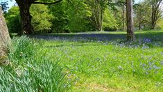 Bluebells, Inveraray, May 2016 Highland Tours, Glasgow, Places To Visit, Castle, Plants, Flora, Plant, Places Worth Visiting, Palace