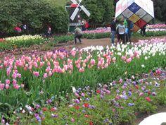 Tesselaars Tulip Festival October 2012, Dandenong Ranges Victoria Australia