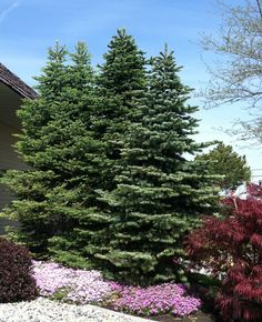 Backyard corner / bird haven Dwarf Alpine Fir Trees. Backyard corner / bird haven Dwarf Alpine Fir T Organic Horticulture, Organic Gardening, Privacy Landscaping, Garden Landscaping, Landscaping Ideas, Alpine Tree, Fence Plants, House Plants, Country Fences