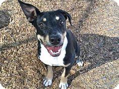 Albuquerque, NM - Australian Shepherd Mix. Meet KECHARA, a dog for adoption. http://www.adoptapet.com/pet/17299618-albuquerque-new-mexico-australian-shepherd-mix