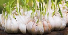 Aparte de ser un súper alimento, el ajo también es muy fácil de cultivar. http://articulos.mercola.com/sitios/articulos/archivo/2017/03/21/como-cultivar-ajos-en-casa.aspx?utm_source=espanl&utm_medium=email&utm_content=art2&utm_campaign=20170321&et_cid=DM137195&et_rid=1934815966