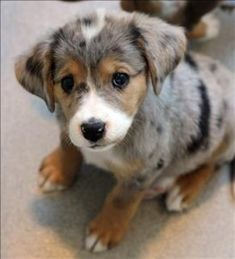 Catahoula Leopard puppy!