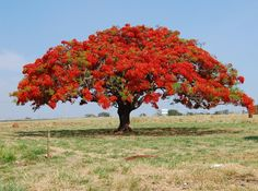 The Royal Poinciana tree (Delonix Regia). This tree can get feet tall, but it's wide spreading umbrella-like canopy can be wider than it's height, a big bonsai. Delonix Regia, Trees And Shrubs, Flowering Trees, Trees To Plant, Unique Trees, Colorful Trees, Rare Plants, Exotic Plants, Palm Tree Pictures