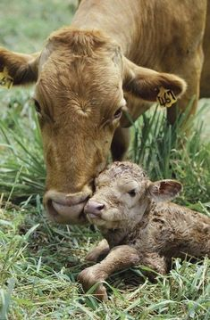 Cows carry their young for nine months and they suckle them for nine to twelve months, much like human mothers.: