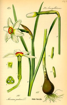 Image from http://upload.wikimedia.org/wikipedia/commons/4/41/Illustration_Narcissus_poeticus0.jpg.