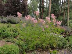 Very sweet indeed! Filipendulas for your garden. Tall Plants, Pacific Northwest, Perennials, Woodland, Garden Ideas, Sweet, Backyard Ideas, Perennial