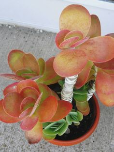 Kalanchoe luciae (Paddle Plant, Red Pancakes, Flapjack, Desert Cabbage) → Plant characteristics and more photos at: http://www.worldofsucculents.com/?p=2058
