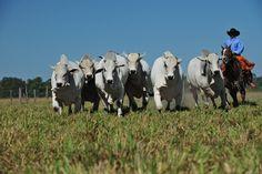 Novos certificados zoossanitários agilizam exportação de gado