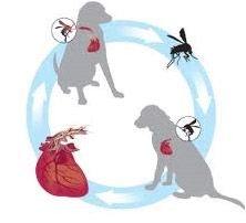 The Truth About Heartworms, by Jean Hofve, DVM — Explains the heartworm life cycle and why it isn't necessary to give year-round heartworm preventatives in most areas of the United States