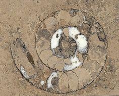 Piedra natural Cendra de Solnhofen con fósil de amonites. #piedranatural