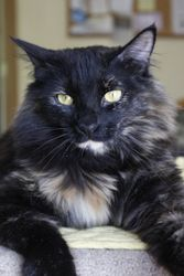 McKalli-H is a beautiful Tortoiseshell Mix! She is up for adoption in Prescott, AZ! Check out her page for more details.