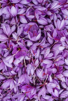 Once limited to royalty, saffron is one of the most expensive natural beauty products in the world. Saffron Plant, Saffron Crocus, Saffron Flower, Beautiful Flower Quotes, Beautiful Roses, Flower Tattoo Designs, Flower Tattoos, Saffron Recipes, Plant Care