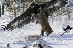 A golden eagle fights with a fox for leftovers