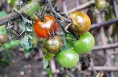 Cum se previne şi cum se combate mana roşiilor | Paradis Verde Manado, Salvia, Pest Control, Vegetable Garden, Ale, Fruit, Vegetables, Gardening, Tips