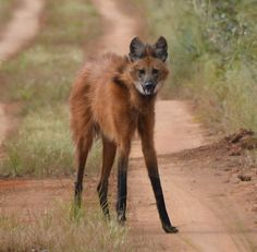 The Maned Wolf, or Chrysocyon brachyurus, is neither a fox, dog, jackal, wolf, or coyote. It's a totally unique canid and stalks the savannahs of Central South America.