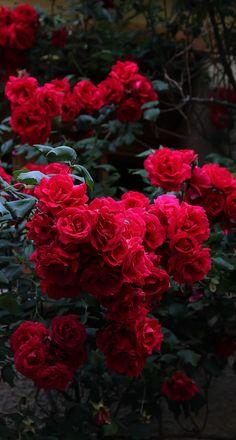 "chasingrainbowsforever: ""seasonalwonderment: "" In the rose garden… "" Red Flowers "" My Flower, Pretty Flowers, Flower Power, Flower Aesthetic, Red Aesthetic, Colorful Roses, Flower Wallpaper, Beautiful Roses, Red Roses"
