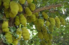 National symbols of different countries including list of National Animal of different countries, National Bird, National Tree, National Fruit, National Fruit Plants, Fruit Trees, Jackfruit Tree, National Animal, Kerala Tourism, Tropical Fruits, Fruit In Season, Plant Nursery, Delicious Fruit
