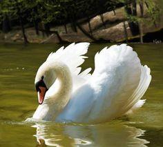 Hohenschwangau swan ~