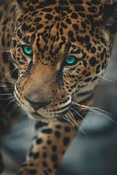 Jaguar is a felin giant aggressive animal Nature Animals, Animals And Pets, Cute Animals, Beautiful Cats, Animals Beautiful, Big Cats, Cats And Kittens, Gato Grande, Majestic Animals