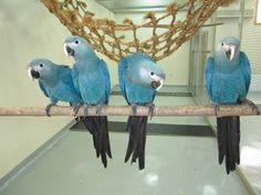 Spix's Macaw. A rare parrot species thought to be extinct in the wild.