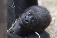 gorilla and baby - Bing Images Happy Animals, Nature Animals, Cute Baby Animals, Animals And Pets, Funny Animals, Cute Creatures, Beautiful Creatures, Animals Beautiful, Baby Gorillas