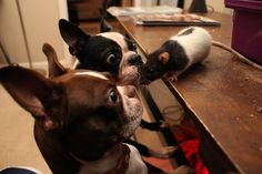 What is it? | Boston Terrier Friendzy