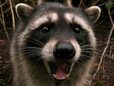 That was sooo funny! Racoon, Belly Laughs, Laughter, Funny, Cute, Animals, Photos, Animales, Animaux