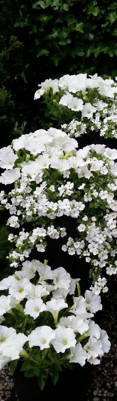 petunia and snow in summer?  annuals in white