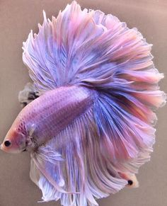 , XXMy next wall fish! Love the color.