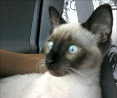 """Colorpoint Shorthairs are the first-cousins of the Siamese, and are distinguished by their 16 different """"point"""" colors beyond the four Siamese colors."""