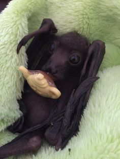 OMG A BABY FRUIT BAT WITH A FRUIT PACIFIER!! I'm dying of squee!!!