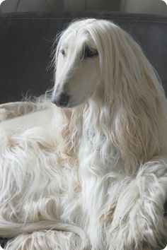 when I was much younger, I wanted an afghan hound