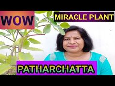Ayuvedic benefits of PATHARCHATTA in Kidney stones removal/Medicinal uses of (Bryophyllum pinnatum) - YouTube