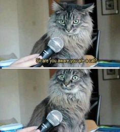 Main Coon Cat Gets Interviewed ---- funny pictures hilarious jokes meme humor walmart fails