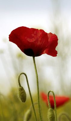 lovely poppy by piink-chamallow